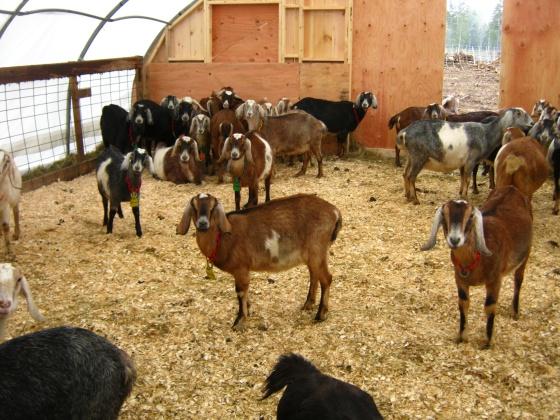 Hello Goats
