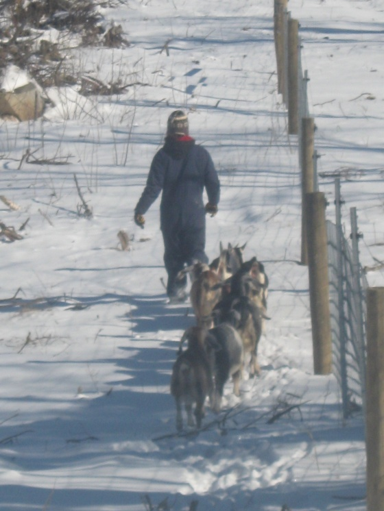 Winter Walk with Goats 2