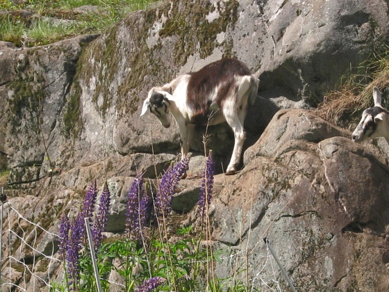 Alpine with Lupines