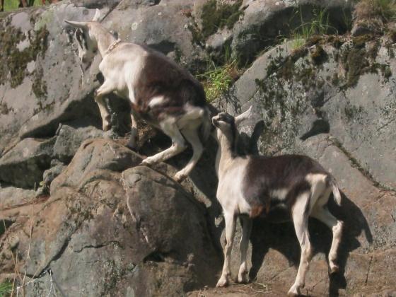 Alpines climbing