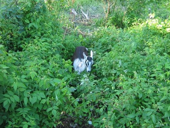 goat  in jungle