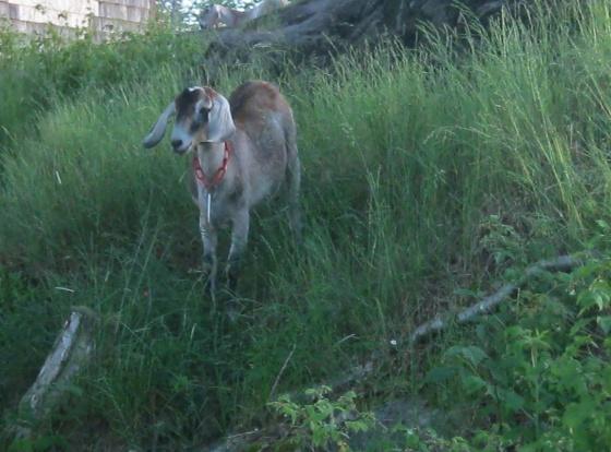 goat on hill at dusk