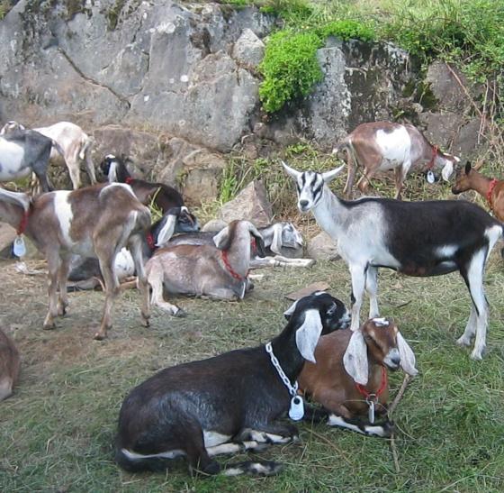 goats lying by ledge